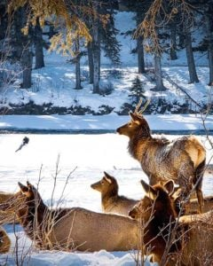 A group of elk in the snow in Canada